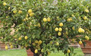 citromfa nevelése