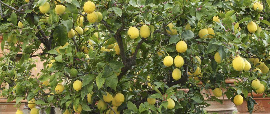 citrom, citromfa