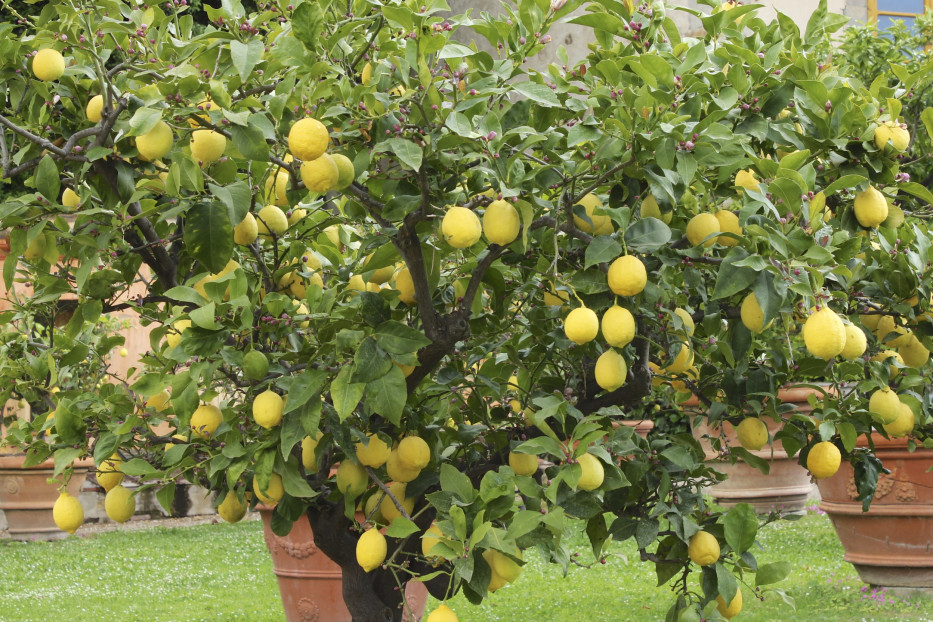 Hogyan neveljünk citromfát?