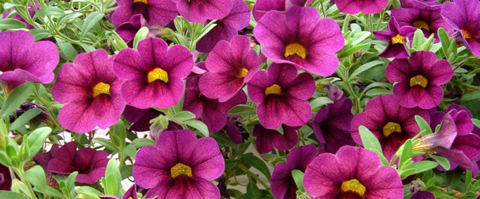 petunia-egynyariak-ultetese
