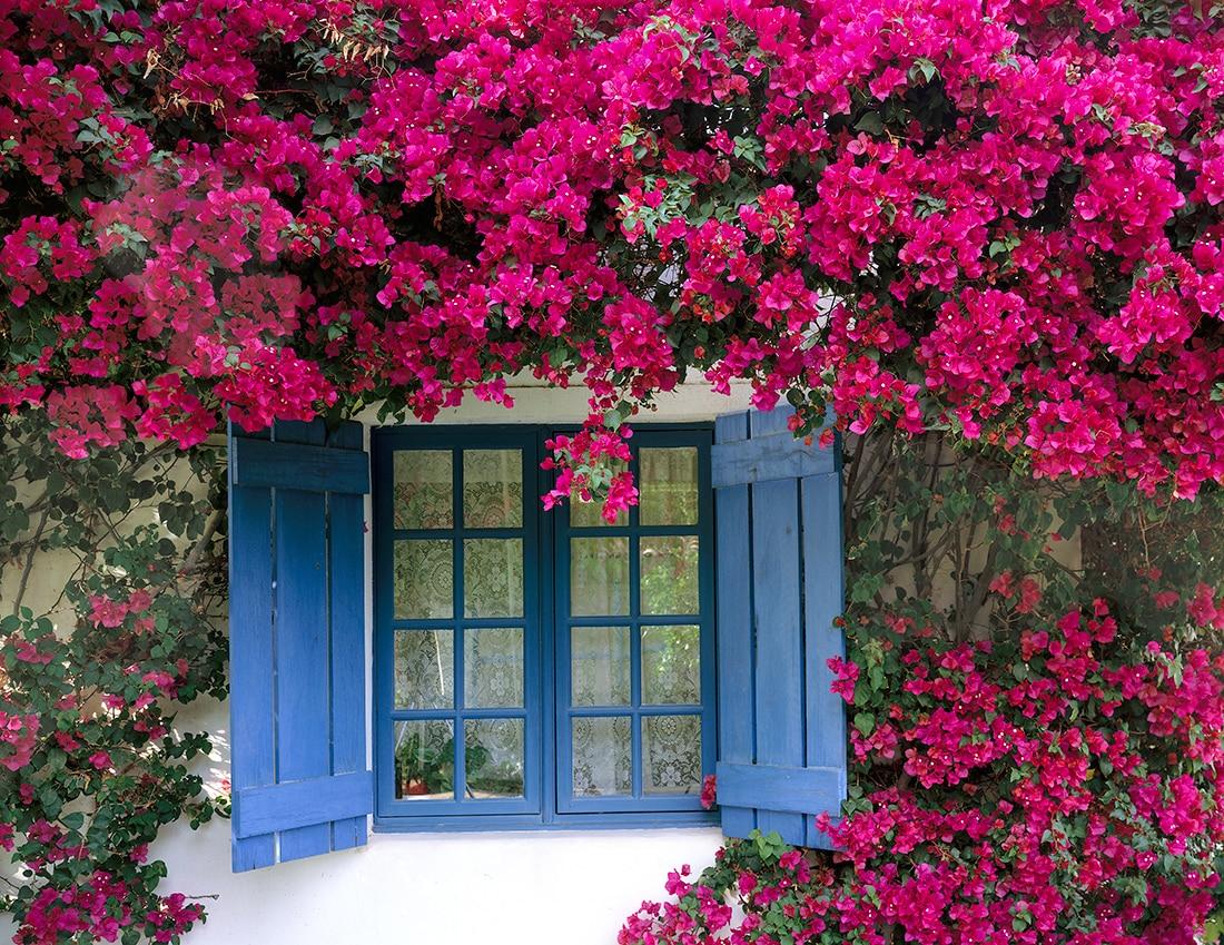 Mi kússzon a kertünkben? - 4. A szépséges bougainvillea