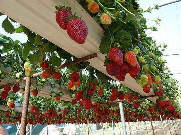 szamóca termesztés balkonon