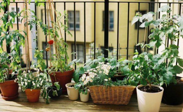földieper balkonládában