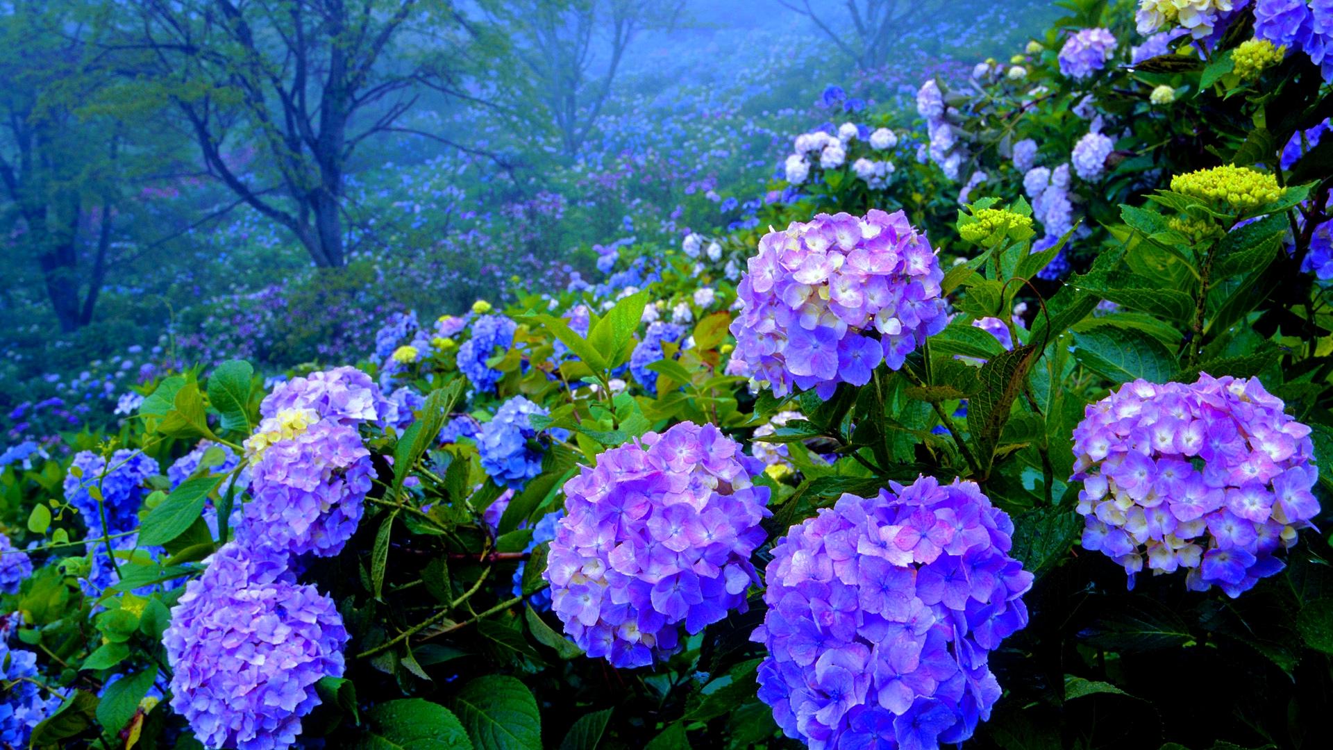 A legpompásabb árnyéktűrő növény, a hortenzia