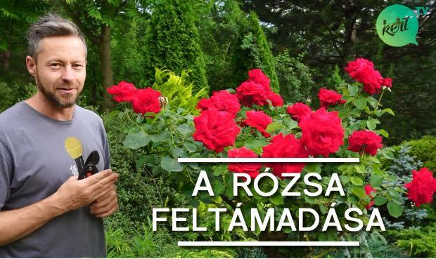 rózsa-metszese