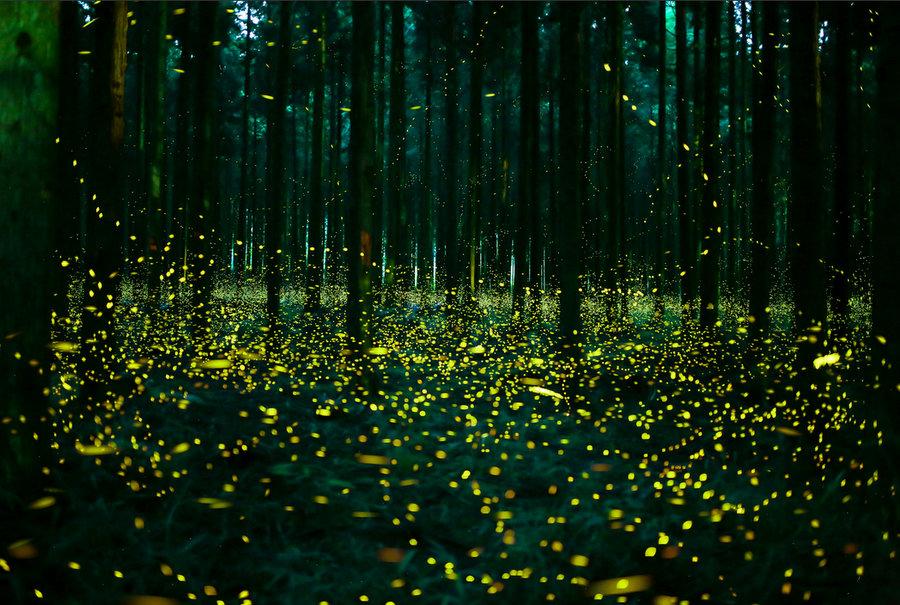 Varázslatos szentjánosbogár rajzás a japán erdőkben