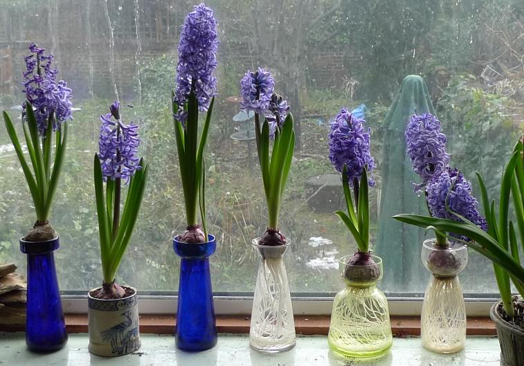 Varázsolj tavaszt a lakásodba télen is virágzó hagymásokkal!