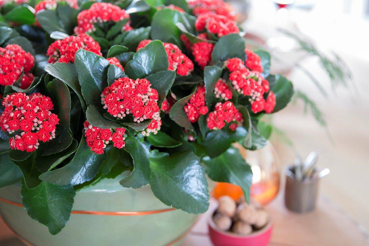 3 fontos gondozási tipp a korallvirág hosszú virágzásához