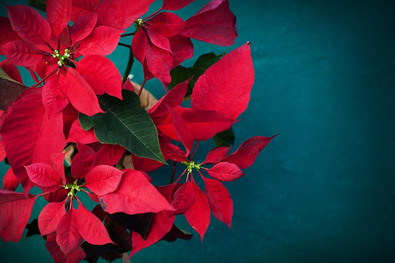 Így gondozd a mikulásvirágod, hogy túlélje a karácsonyt! - videó