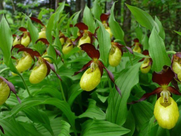 Boldogasszony papucsa őshonos orchidea