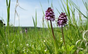 őshonos orchidea kosbor