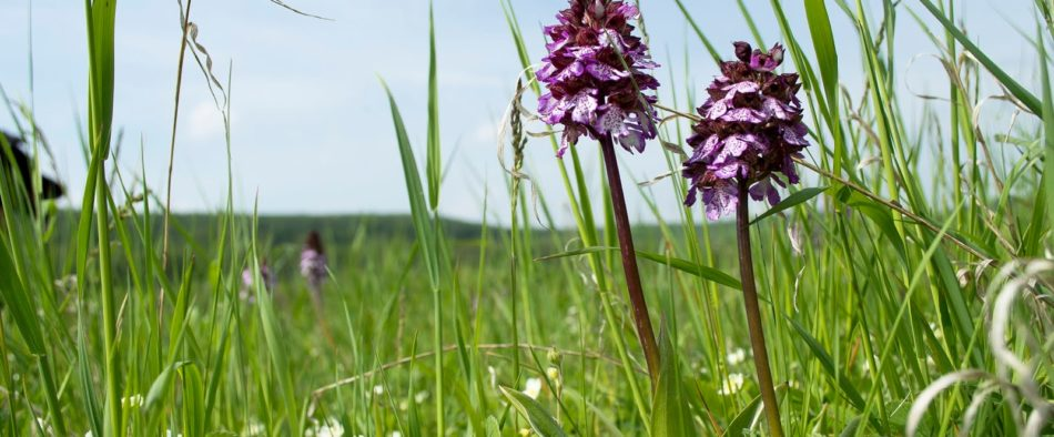 oshonos-orchideak