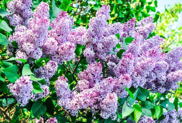 flowering syringa lilac