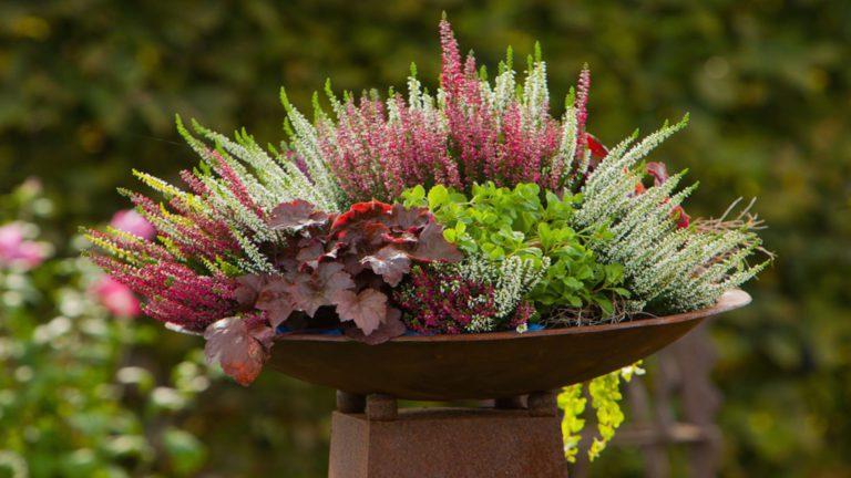 Erika növény, calluna vulgaris