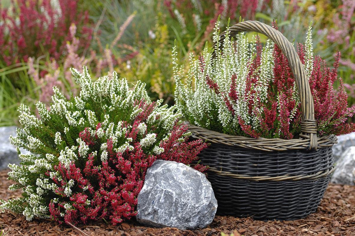 Egy télen is virágzó szépség - a Közönséges Csarab