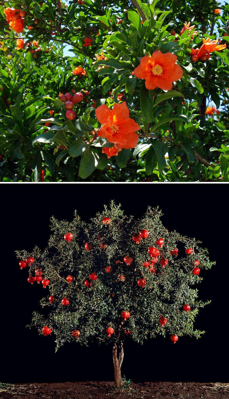 gránátalmafa