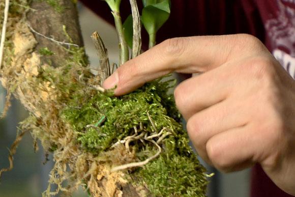fán lakó orchidea léggyökere