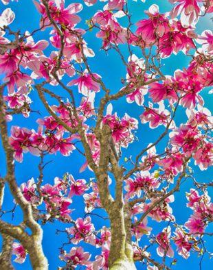 magnólia, rhododendron
