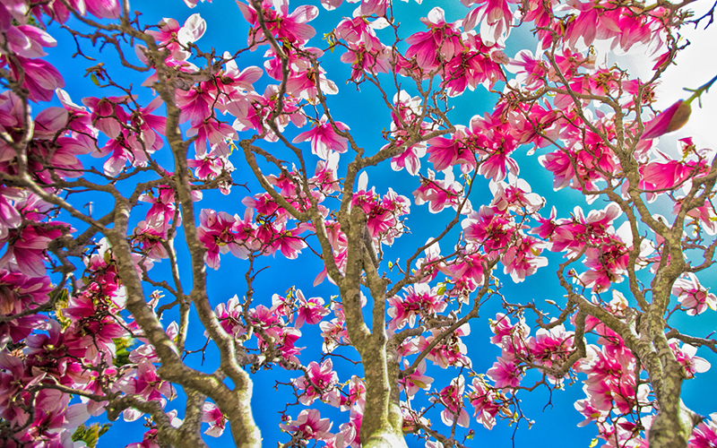 Magnólia, rhododendron - A savanyú talaj virágai