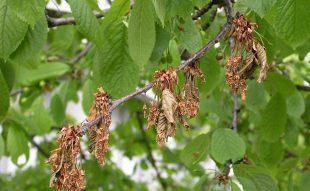 gyümölcsfa betegség