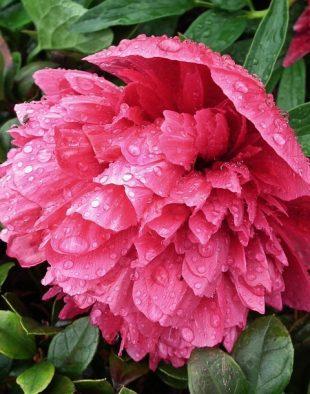 bazsarózsa, pünkösdi rózsa