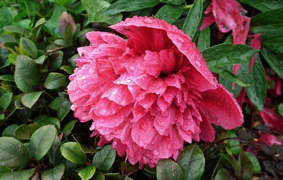 Ha a Rhododendronnal befuccsoltunk, megoldás a Pünkösd rózsája!
