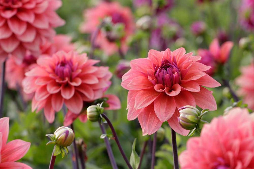 Mikor ültessük el nyáron virágzó hagymás és gumós növényeinket?