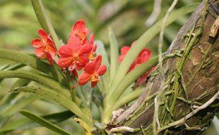 epifiták, orchidea, fán lakó
