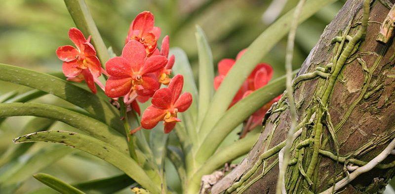 epifiták, orchidea