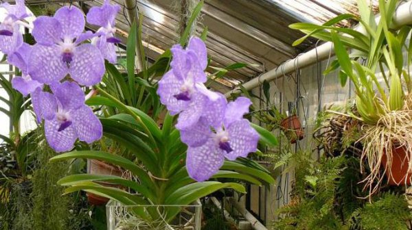 epifita orchidea vanda