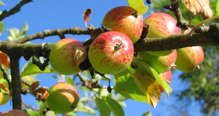 Így kell visszavágni a gyümölcsfákat ültetés előtt / kert TV
