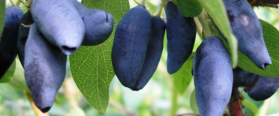 gyümölcstermő, sövénynövény