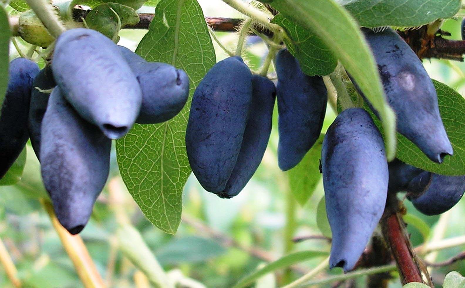 Gyümölcstermő sövénynövények - kék mézbogyó,fekete berkenye, japán som