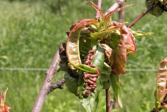 őszibarack megbetegedés