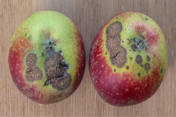 varasodott alma