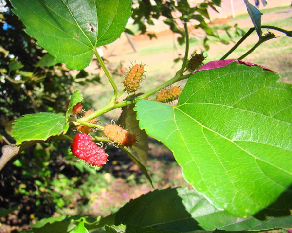 Vörös szederfa Morus rubra