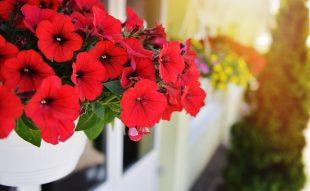 balkonnövény, nap, kiszoktatás