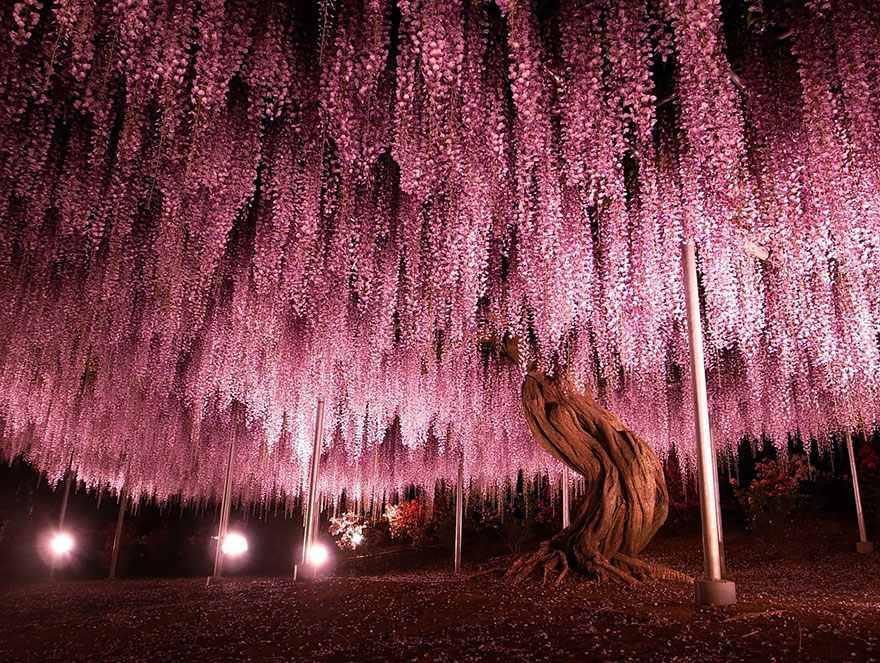 Csodás képek Japán legnagyobb, 145 éves lilaakácfájáról