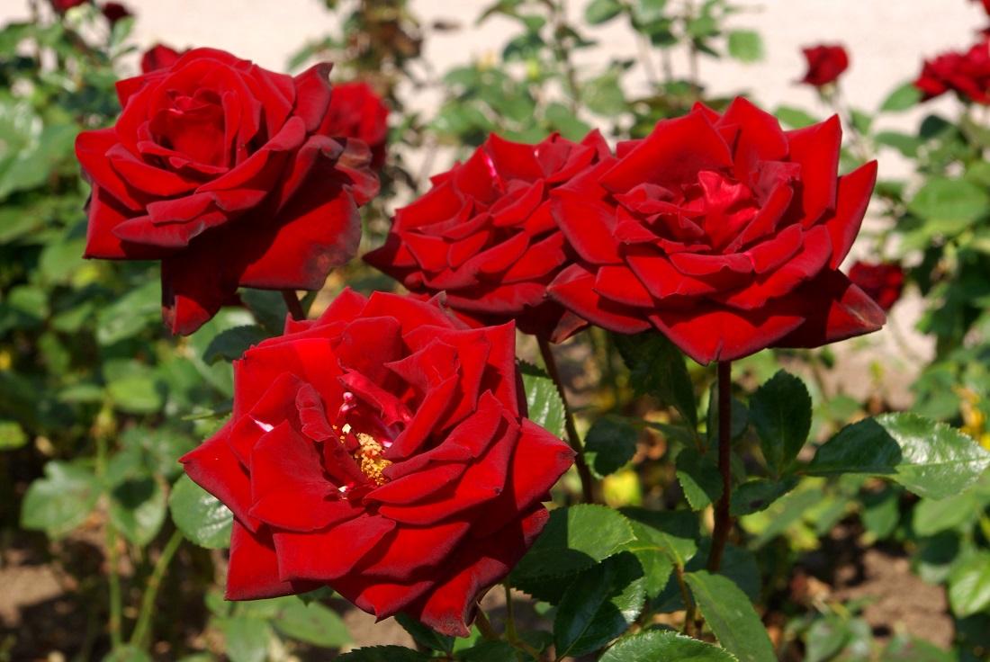 Minden kertek kedvence, a rózsa