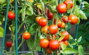 zöldségek támrendszere