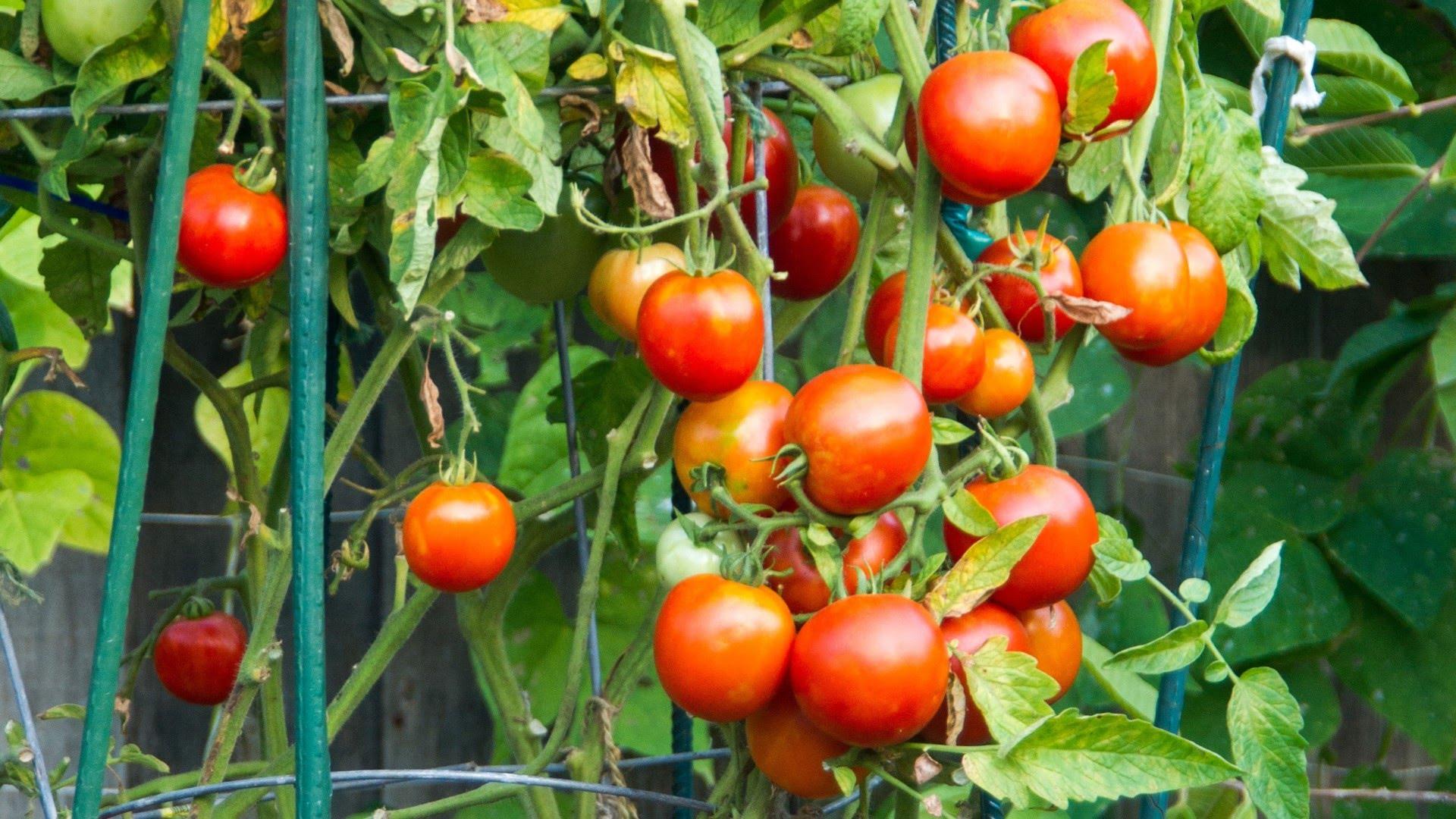 A kúszó zöldségnövények támrendszerei