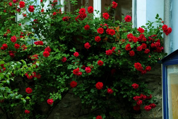 rózsa, metszés