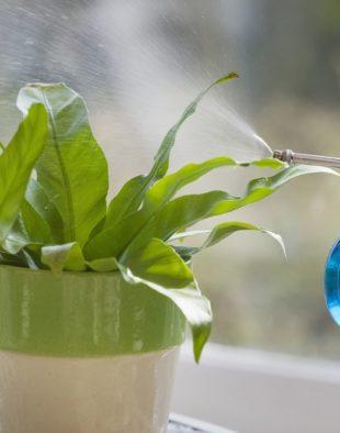 szobanövények öntözése