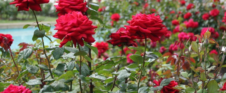 rózsa szemzése