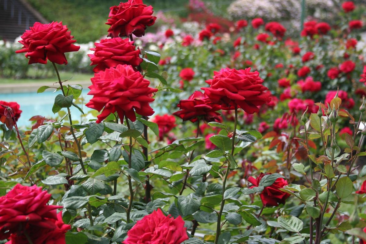 Nem ördöngösség, bátran szemezzük a rózsákat!