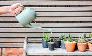 kaktusz öntözése