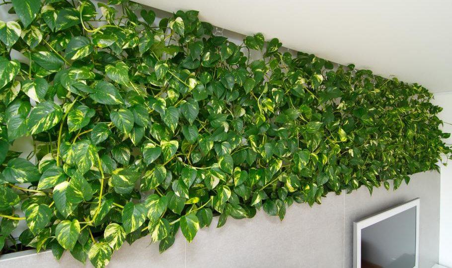 kúszó- és futónövények lakásba