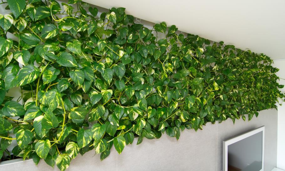 5 strapabíró futónövény a lakásba
