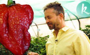 csili paprika termesztés