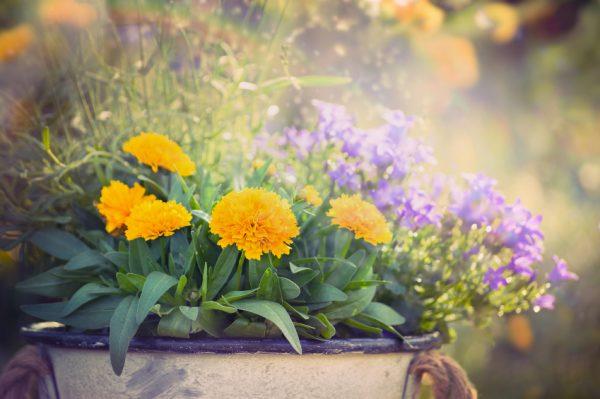 Az ősz virága, a krizantém
